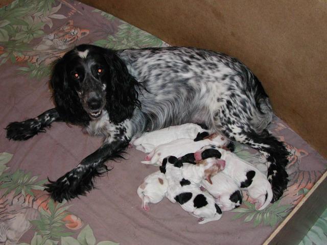 щенки спаниеля фото новорожденные